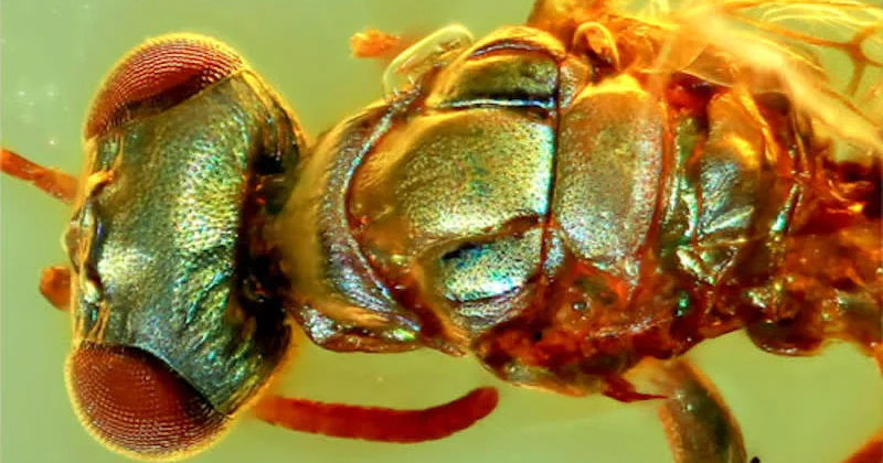 A new study, published in the journal Proceedings of the Royal Society B, is devoted to the study of dozens of Cretaceous amber fossils that still con