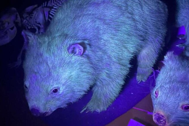 It turns out that many of Australia's mammals glow in the dark