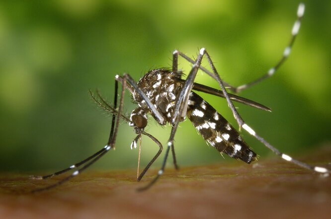 Комар рода Aedes